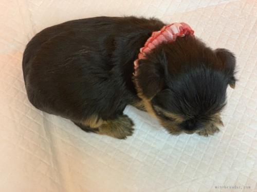 ヨークシャーテリアの子犬(ID:1258111018)の3枚目の写真/更新日:2019-11-05