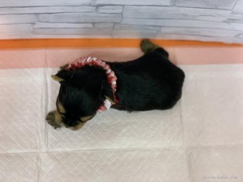 ヨークシャーテリアの子犬(ID:1258111020)の3枚目の写真/更新日:2020-05-02