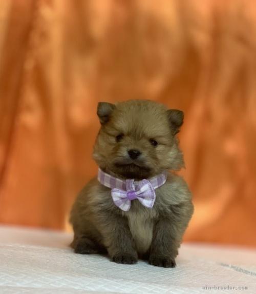 ポメラニアンの子犬(ID:1258111023)の1枚目の写真/更新日:2019-12-05