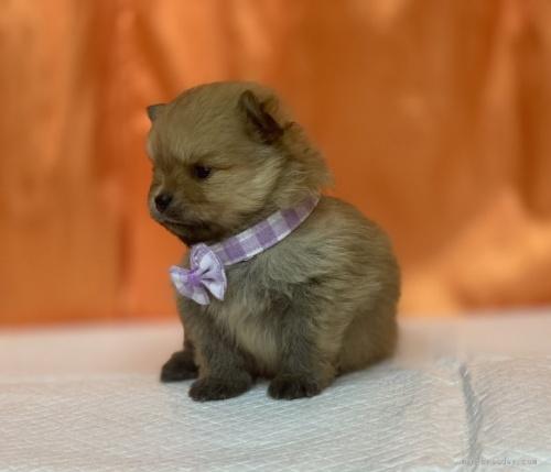 ポメラニアンの子犬(ID:1258111023)の3枚目の写真/更新日:2019-12-05