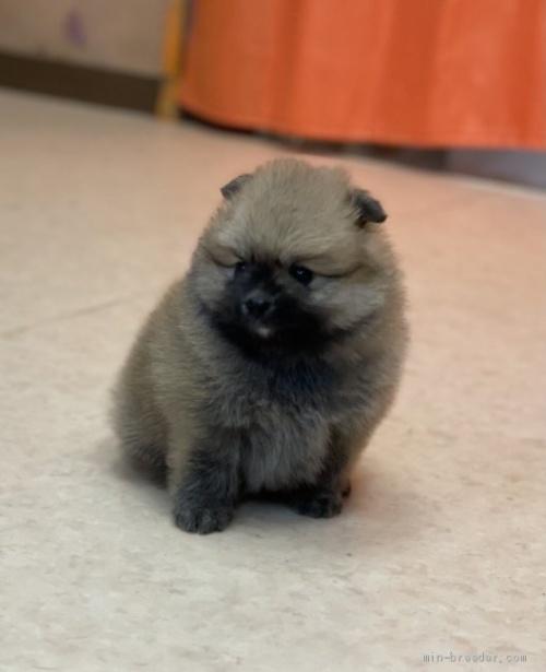 ポメラニアンの子犬(ID:1258111025)の1枚目の写真/更新日:2021-04-05