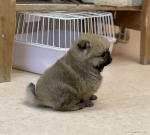 ポメラニアンの子犬(ID:1258111025)の3枚目の写真/更新日:2021-04-05