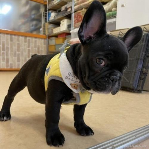 フレンチブルドッグの子犬(ID:1258111030)の3枚目の写真/更新日:2020-09-19