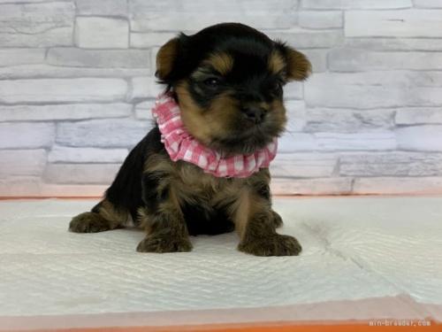 ヨークシャーテリアの子犬(ID:1258111031)の2枚目の写真/更新日:2020-05-02