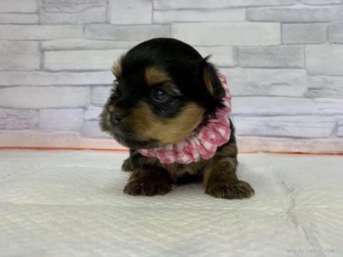 ヨークシャーテリアの子犬(ID:1258111031)の3枚目の写真/更新日:2020-05-02