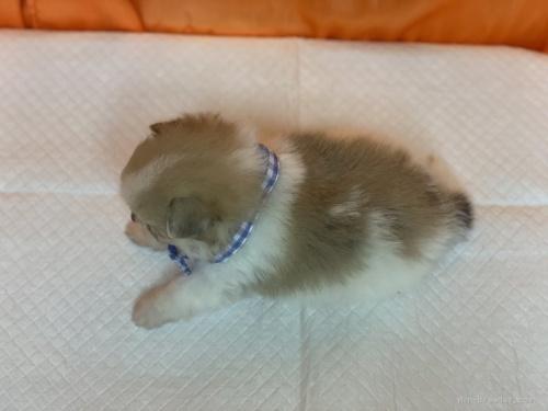 ポメラニアンの子犬(ID:1258111044)の4枚目の写真/更新日:2019-12-05