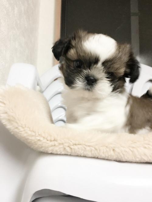 シーズーの子犬(ID:1258111056)の2枚目の写真/更新日:2017-04-23