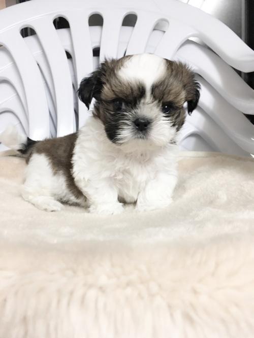 シーズーの子犬(ID:1258111056)の3枚目の写真/更新日:2017-04-28