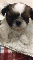 シーズーの子犬(ID:1258111056)の3枚目の写真/更新日:2017-04-23