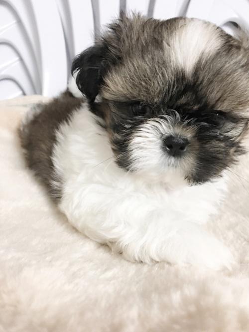 シーズーの子犬(ID:1258111057)の1枚目の写真/更新日:2017-04-23