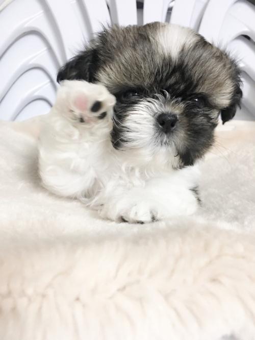 シーズーの子犬(ID:1258111057)の2枚目の写真/更新日:2017-04-23