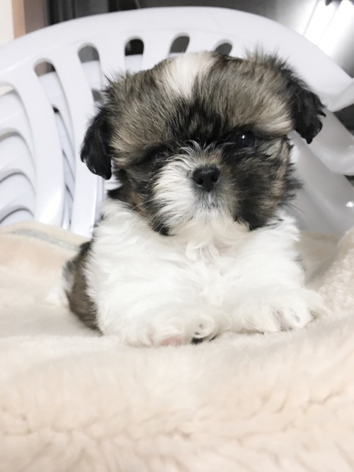 シーズーの子犬(ID:1258111057)の3枚目の写真/更新日:2017-04-23