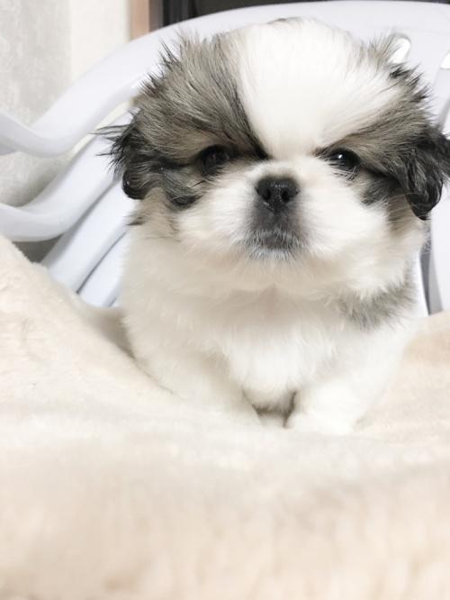 ペキニーズの子犬(ID:1258111058)の1枚目の写真/更新日:2017-04-28
