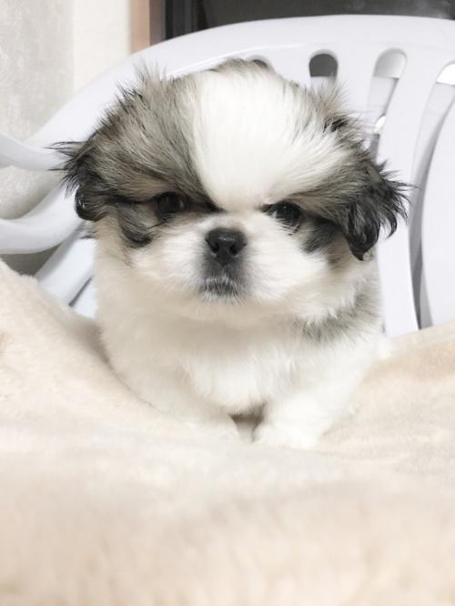 ペキニーズの子犬(ID:1258111058)の2枚目の写真/更新日:2017-04-28