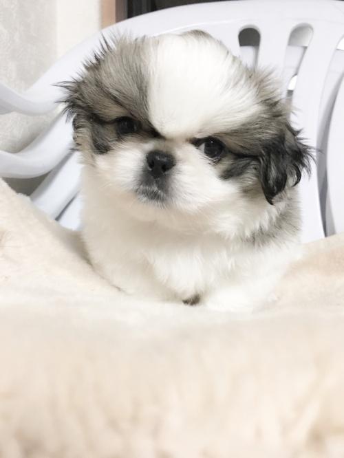 ペキニーズの子犬(ID:1258111058)の3枚目の写真/更新日:2017-04-28