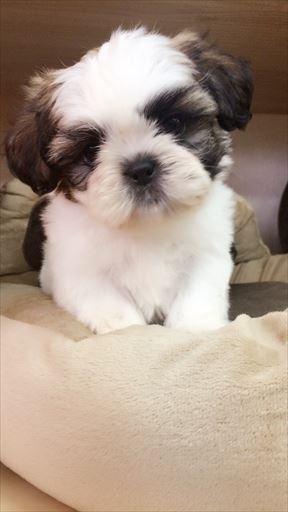 シーズーの子犬(ID:1258111059)の1枚目の写真/更新日:2017-05-25