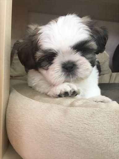 シーズーの子犬(ID:1258111059)の2枚目の写真/更新日:2017-05-25