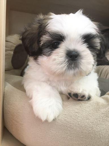 シーズーの子犬(ID:1258111059)の3枚目の写真/更新日:2017-05-25