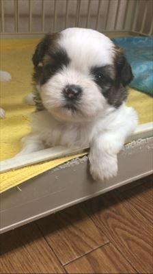 シーズーの子犬(ID:1258111060)の1枚目の写真/更新日:2017-04-28