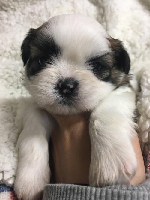 シーズーの子犬(ID:1258111060)の3枚目の写真/更新日:2017-04-28