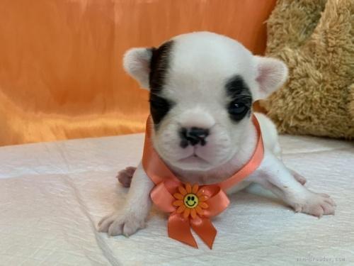 フレンチブルドッグの子犬(ID:1258111061)の1枚目の写真/更新日:2020-09-19