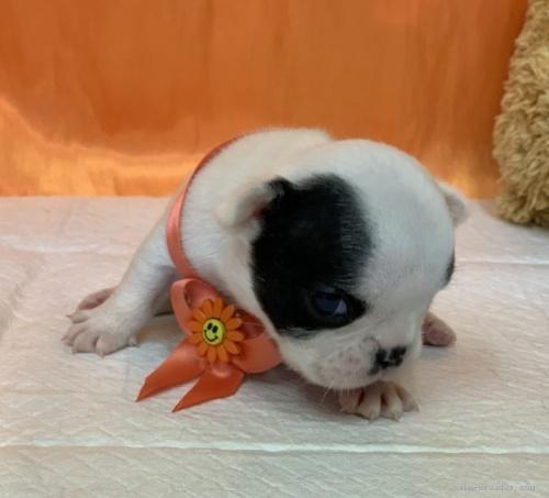 フレンチブルドッグの子犬(ID:1258111061)の3枚目の写真/更新日:2020-01-22
