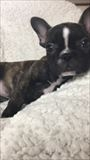 フレンチブルドッグの子犬(ID:1258111062)の1枚目の写真/更新日:2017-05-25