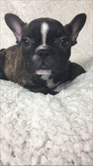 フレンチブルドッグの子犬(ID:1258111062)の2枚目の写真/更新日:2017-05-25