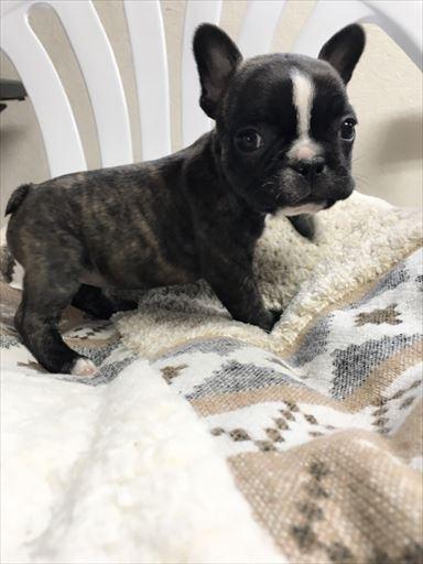 フレンチブルドッグの子犬(ID:1258111062)の3枚目の写真/更新日:2017-05-25