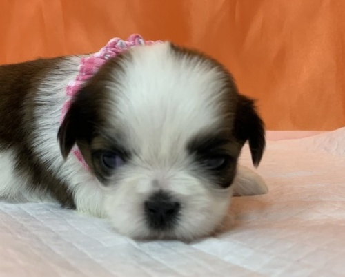 シーズーの子犬(ID:1258111063)の1枚目の写真/更新日:2019-08-20