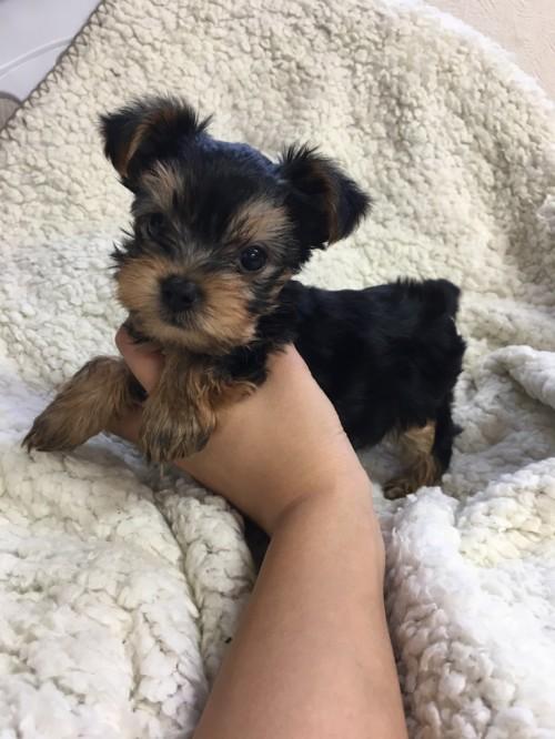 ヨークシャーテリアの子犬(ID:1258111065)の1枚目の写真/更新日:2017-06-02