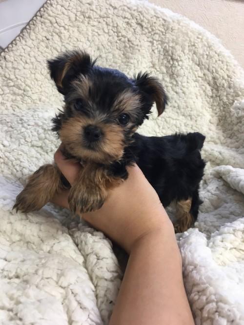ヨークシャーテリアの子犬(ID:1258111065)の2枚目の写真/更新日:2017-06-02