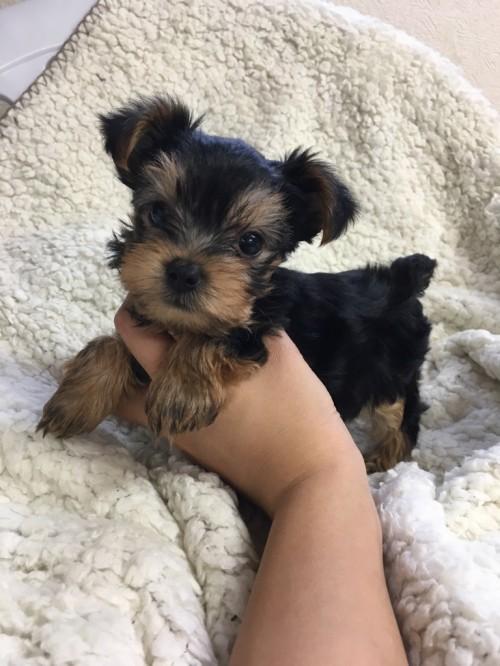 ヨークシャーテリアの子犬(ID:1258111065)の4枚目の写真/更新日:2017-06-02