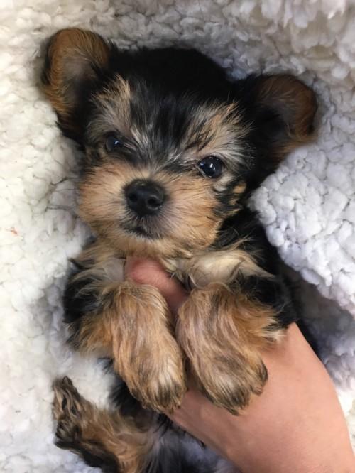ヨークシャーテリアの子犬(ID:1258111065)の5枚目の写真/更新日:2017-06-02