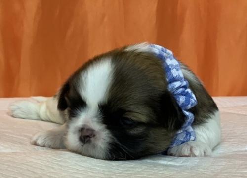 フレンチブルドッグの子犬(ID:1258111066)の2枚目の写真/更新日:2017-06-19