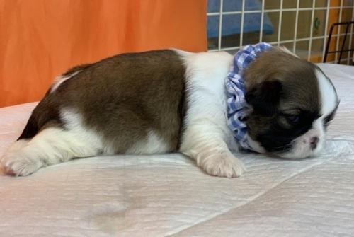 フレンチブルドッグの子犬(ID:1258111066)の3枚目の写真/更新日:2017-06-19