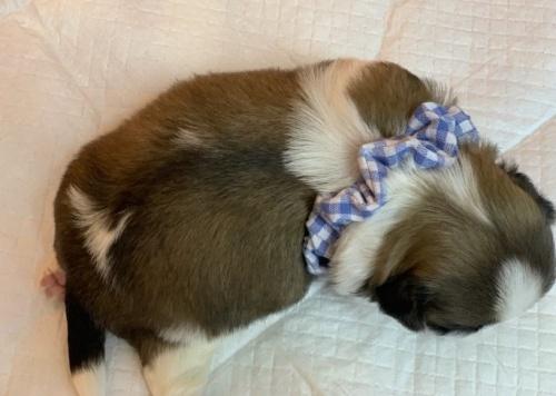 シーズーの子犬(ID:1258111066)の4枚目の写真/更新日:2019-08-20