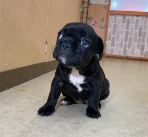 フレンチブルドッグの子犬(ID:1258111068)の3枚目の写真/更新日:2020-09-19