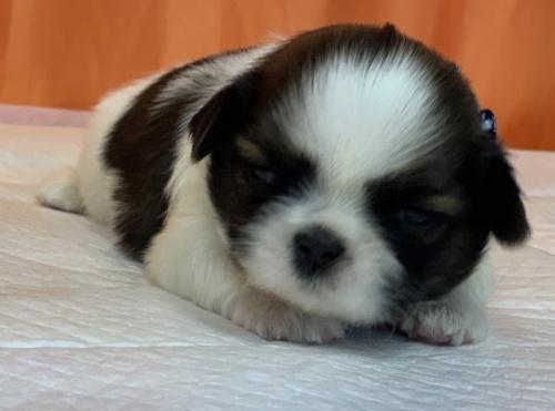 シーズーの子犬(ID:1258111069)の1枚目の写真/更新日:2017-09-09