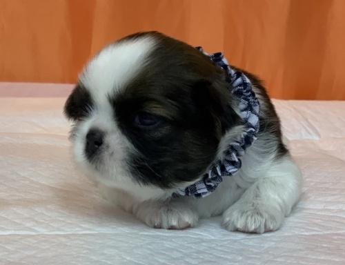 シーズーの子犬(ID:1258111069)の2枚目の写真/更新日:2019-08-20