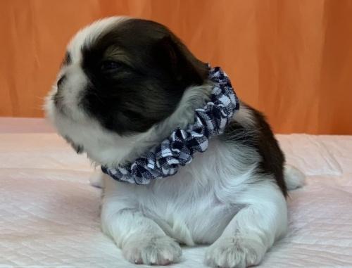 シーズーの子犬(ID:1258111069)の3枚目の写真/更新日:2017-09-09