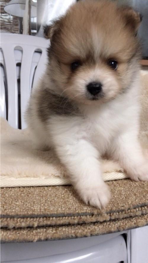 ポメラニアンの子犬(ID:1258111070)の1枚目の写真/更新日:2017-10-31