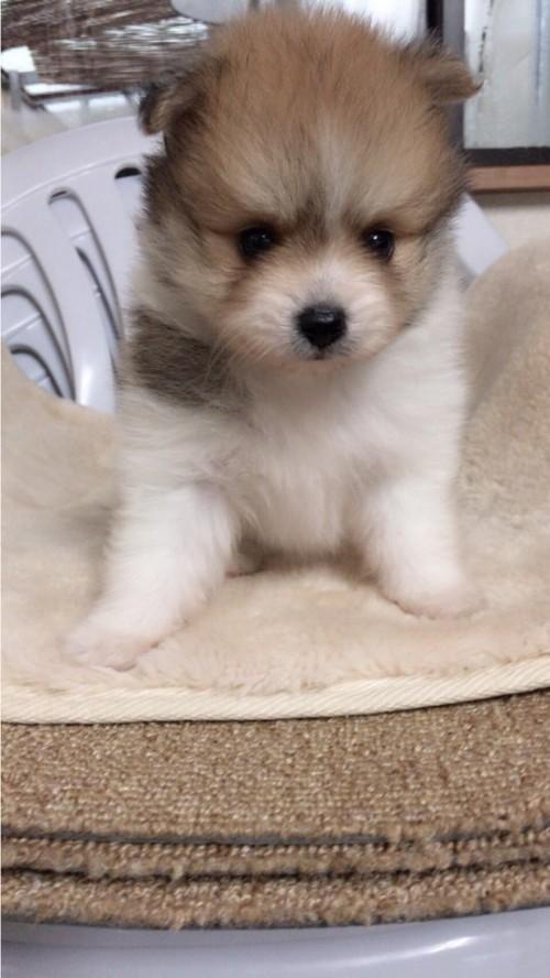 ポメラニアンの子犬(ID:1258111070)の2枚目の写真/更新日:2017-10-31