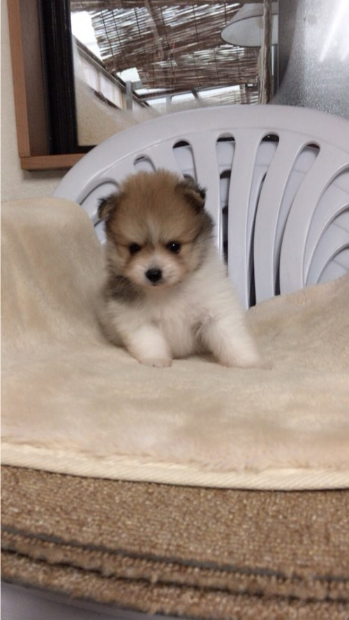 ポメラニアンの子犬(ID:1258111070)の3枚目の写真/更新日:2017-10-31