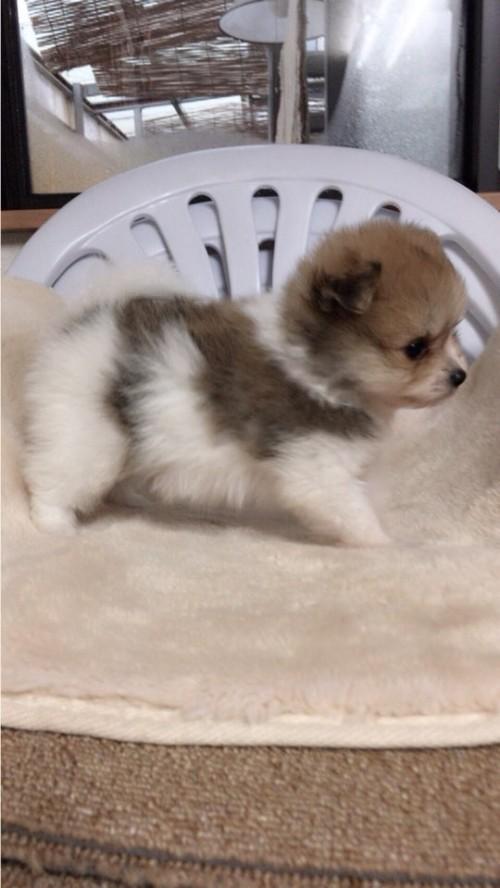 ポメラニアンの子犬(ID:1258111070)の4枚目の写真/更新日:2017-10-31