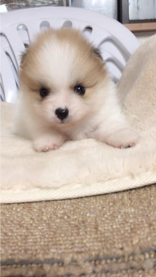 ポメラニアンの子犬(ID:1258111071)の1枚目の写真/更新日:2017-10-31