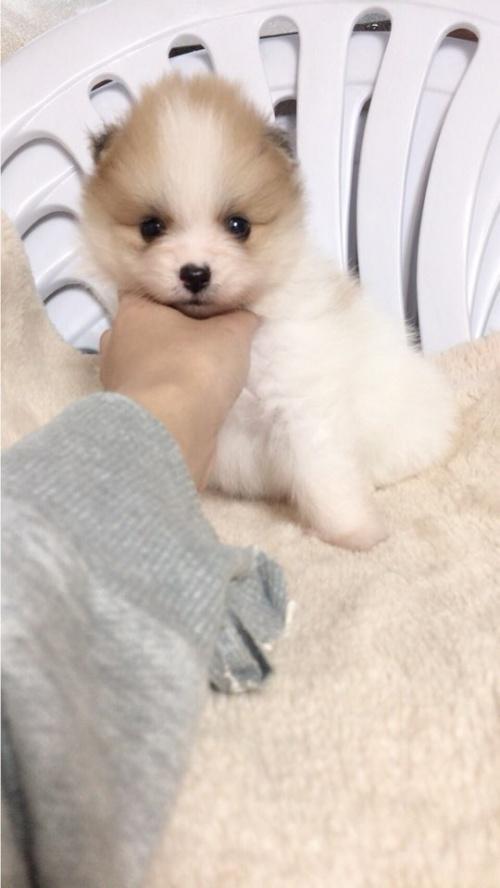 ポメラニアンの子犬(ID:1258111071)の2枚目の写真/更新日:2017-10-31