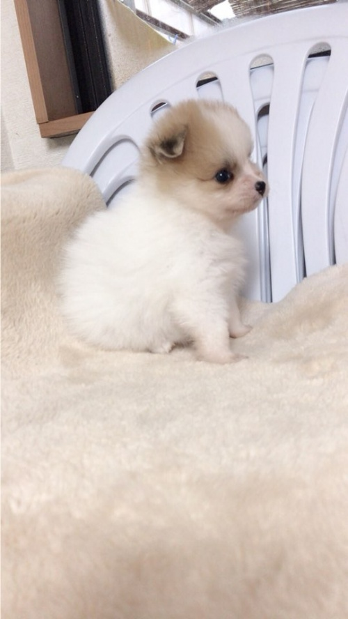 ポメラニアンの子犬(ID:1258111071)の3枚目の写真/更新日:2017-10-31