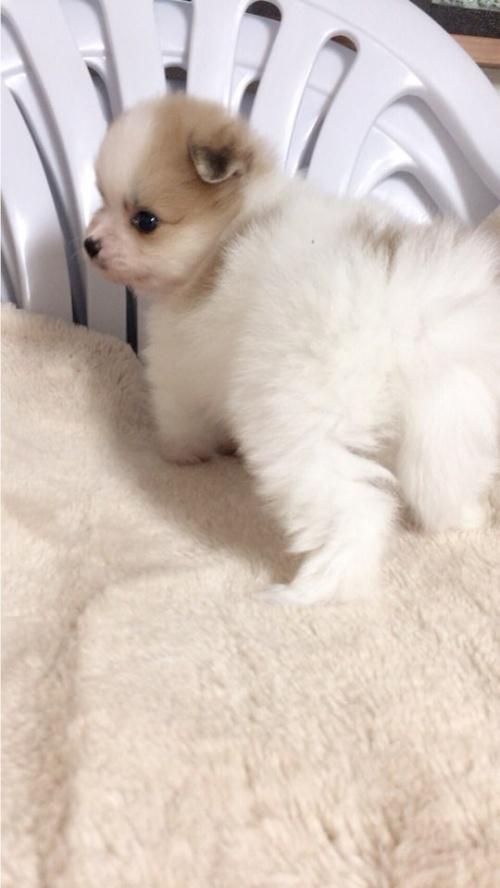 ポメラニアンの子犬(ID:1258111071)の5枚目の写真/更新日:2017-10-31