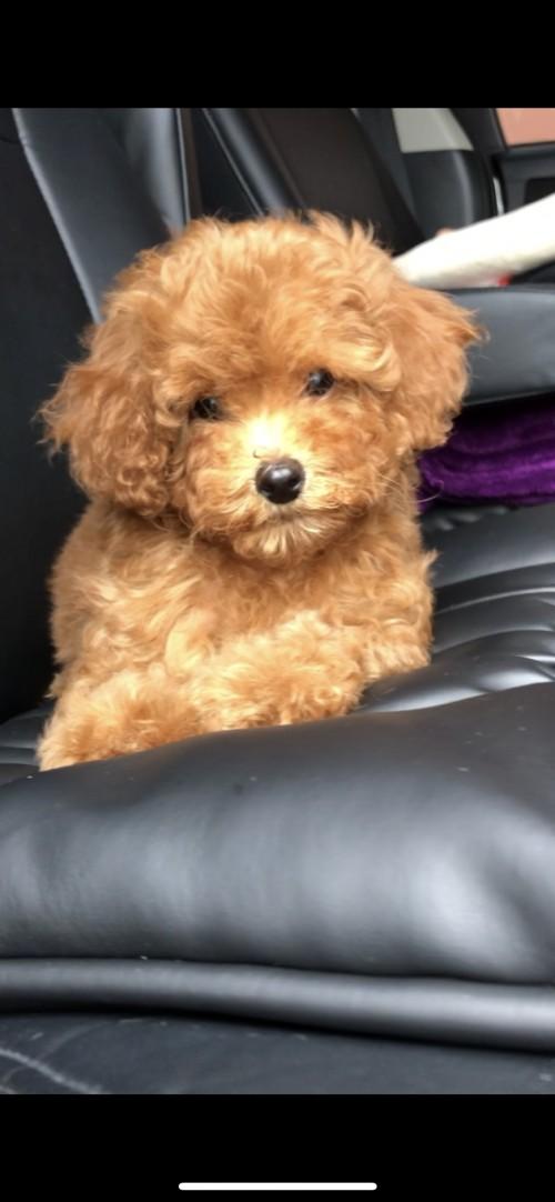 トイプードルの子犬(ID:1258111072)の4枚目の写真/更新日:2017-12-07